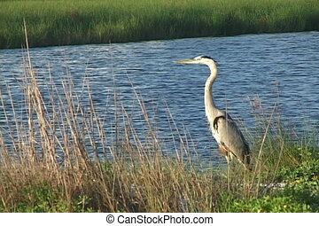 Great Blue Heron - A Great Blue Heron stands in the grass of...
