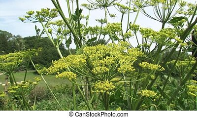 Parsnip, pastinaca sativa - flower, fruits and seeds. The...