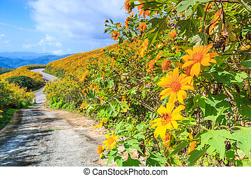 landscape nature flower mexican sunflower in Maehongson...
