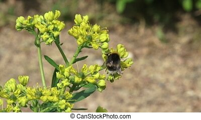 Common rue - ruta graveolens in bloom + bumblebee - close up...