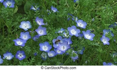Baby blue eyes Nemophila menziesii in bloom + honey bee...