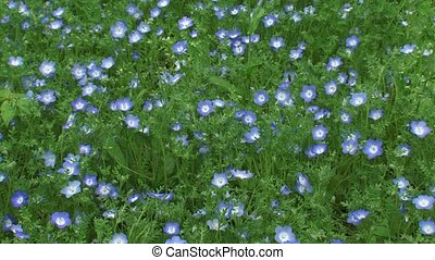 Carpet of Baby blue eyes Nemophila menziesii in bloom - high...