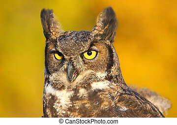 Portrait of Great horned owl (Bubo virginianus)