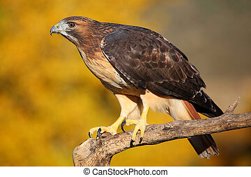 Red-tailed hawk sitting on a stick - Red-tailed hawk (Buteo...