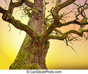 Mighty oak tree - Mighty bare oak tree with green moss in...