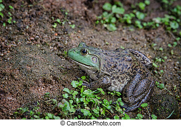 Bullfrog (Rana Catesbeiana) sitting on the ground