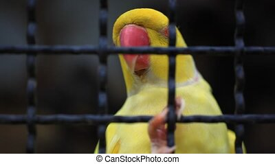 Yellow parrot in the cage. Macro - Yellow parrot in the cage