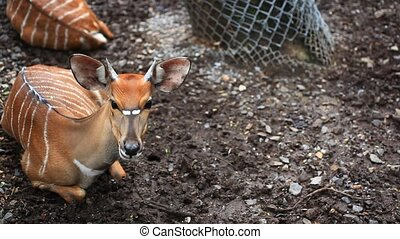 Roe deer in Safari Park. Bangkok, Thailand