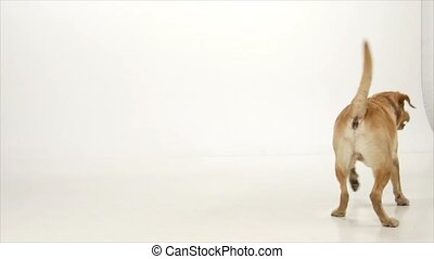Golden labrador is trying to catch a ball on white background, slow motion