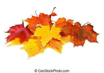 Many maple fall colored leaves - Pile of maple fall colored...