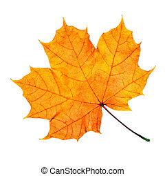 Maple fall leaf isolated on white background