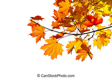 Maple branch with fall leaves