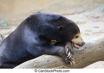 "Malayan Sun Bear or Honey Bear, science names ""Helarctos..."