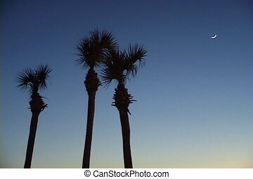 Evening Sky With Palm Trees - Three palm trees blow in the...