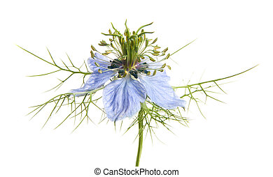 Nigella isolated on white
