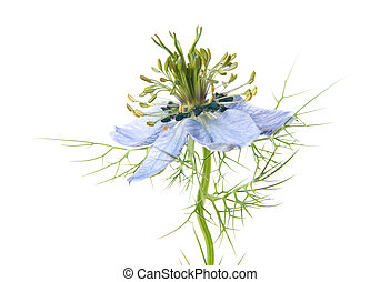 nigella - Nigella isolated on white