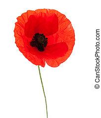 poppy - red poppy isolated