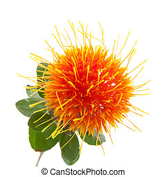 Safflower isolated