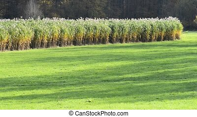 switch grass, field in Germany, renewable plant for energy,...