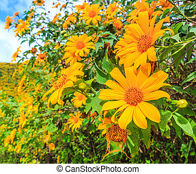 Mexican sunflower or Tithonia diversifolia Origin at Mexico...