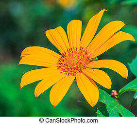 Mexican sunflower background Mae Hong Son Thailand