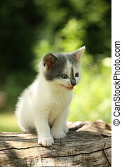 Gray kitten mewing cutely and resting on the tree stump -...