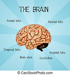 Human brain - illustration of human brain