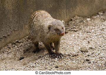 mongoose - portrait of an african banded mongoose