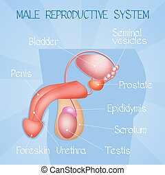 male reproductive system - illustration of male reproductive...