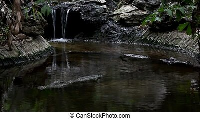 Close-up of an American alligator at watrfall. HD. 1920x1080...