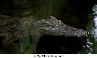 close up of crocodile head. HD. 1920x1080 - close up of...