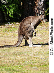 Kangaroo checking crotch - No comment...