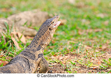 close up face of Water monitor Varanus salvator open mouth...