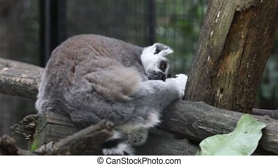 dormant ring tailed lemur in park - Ring tailed lemur in...