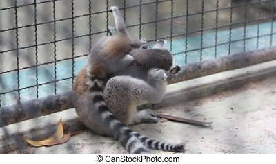 Ring tailed lemur with his child in park - Ring tailed lemur...