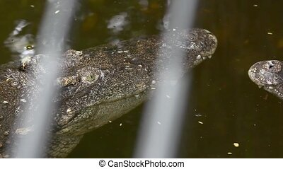 close up of crocodile head HD 1920x1080 - close up of...
