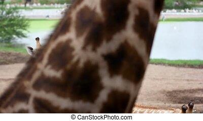 giraffes in the zoo safari park