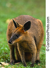 Kangaroo - a kangaroo sitting in green grass