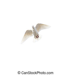 white dove on a white background