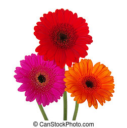 gerbera   - gerbera on a white background