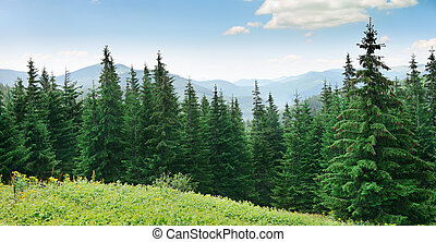 Beautiful pine trees on background high mountains....