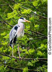 Grey heron on tree branch - A large grey heron perched on a...