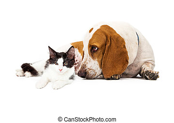 Basset Hound Dog And Kitten