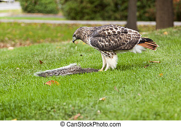 Red Tail Hawk and its Prey