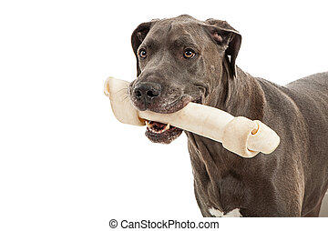 Great Dane Big Bone - Beautiful great dane breed dog closeup...