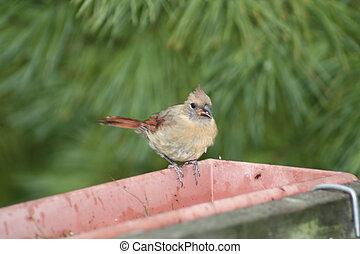 Cardinal, (Fledgling) - Northern Cardinal (Fledgling)...