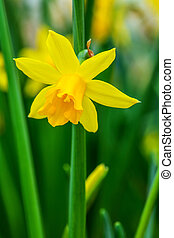 Yellow Daffodil - Yellow Daffodil Narcissus flowers in the...