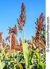 Sorghum. - Millet or Sorghum in the field.