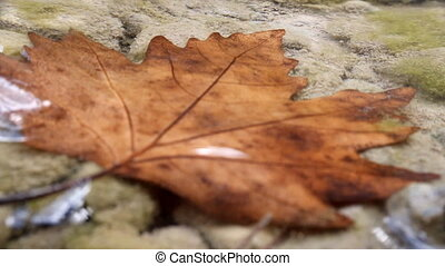 Beautiful maple leaf underwater - autumn. In clear water...