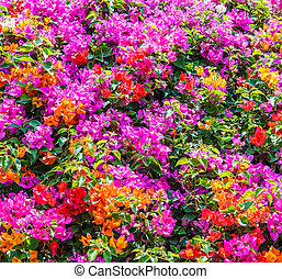 Bougainvillea on nature background
